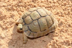 mini landschildkröten