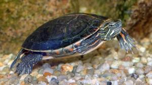 kleine wasserschildkröten