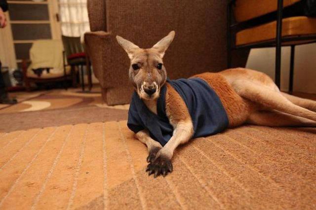 haustier känguru australien