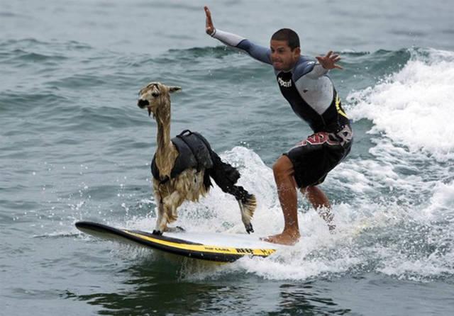 ungewöhnliches lama als haustier
