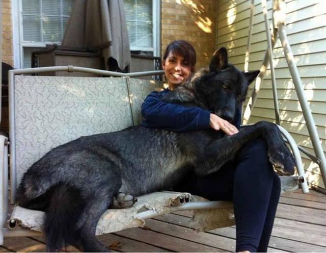 wolf als haustier