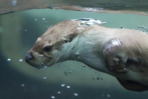 darf man einen Otter als Haustier halten