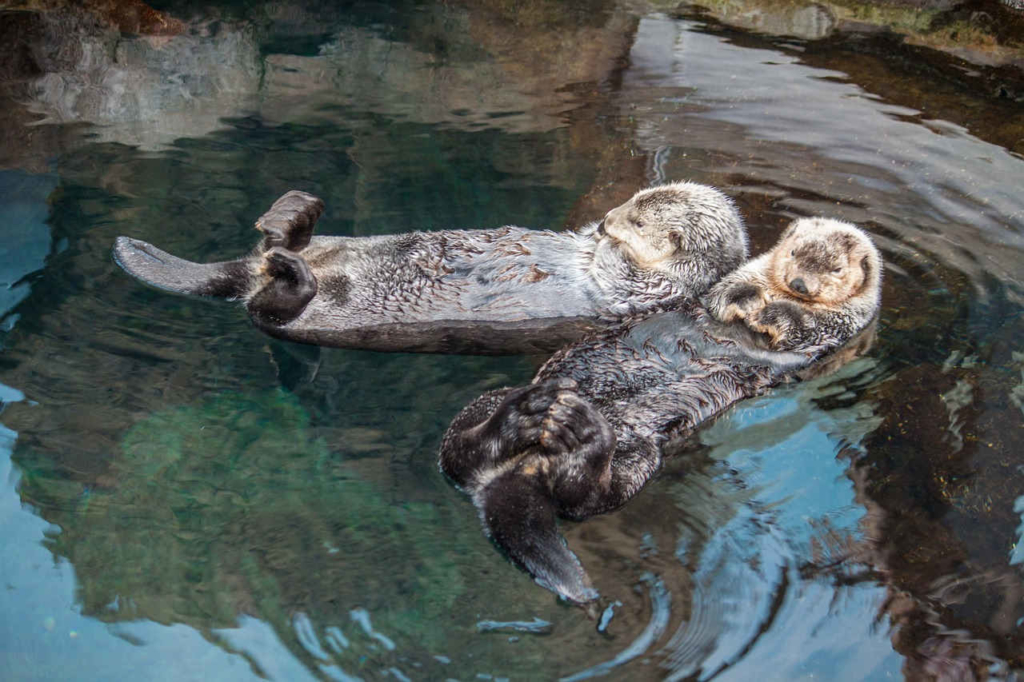 Otter als Haustier