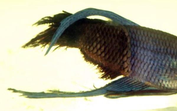 kampffisch flossenfäule