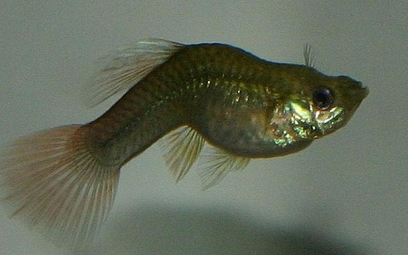 Fischtuberkulose Bilder