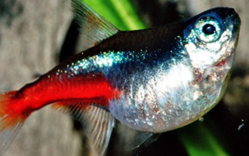 Fischtuberkulose Guppy