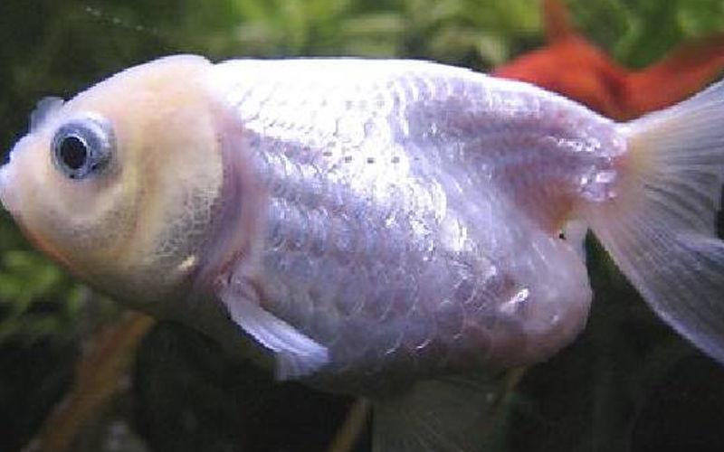 goldfisch fish TBC