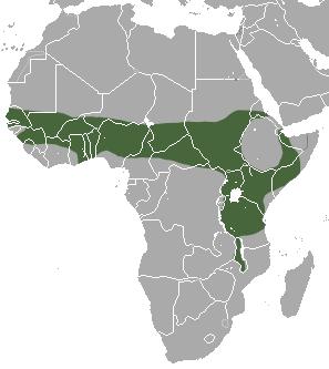 lebensraum afrikanischer weissbauchigel